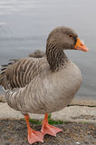 Bean Goose (Anser fabalis) Royalty Free Stock Photography