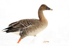 Bean goose Royalty Free Stock Images