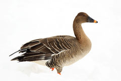 Bean goose Stock Photo
