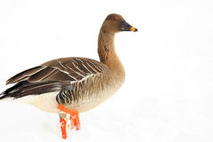Bean goose Royalty Free Stock Photography