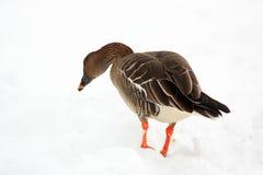 Bean goose Royalty Free Stock Photos
