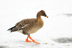 Bean goose. (Anser fabalis middendorffii) in Japan Stock Photo