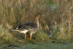 Bean goose, Anser fabalis stock photos