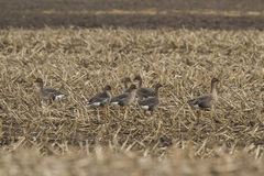 Bean goose on a corn field Royalty Free Stock Photography