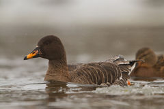 Bean goose on icy river. Lithuania Royalty Free Stock Photo