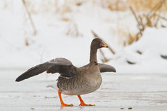 Bean goose on icy river. Lithuania royalty free stock photos