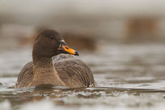 Bean goose on icy river Royalty Free Stock Images