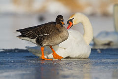 Bean goose on icy river Stock Photo