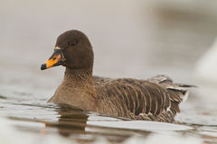 Bean goose on icy river Royalty Free Stock Photography