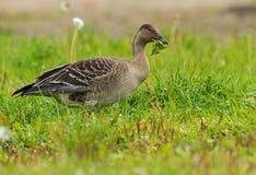 Bean Goose juvénile Photos stock