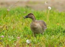 Bean Goose juvenil Fotografia de Stock