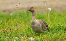 Bean Goose juvenil Fotografia de Stock Royalty Free