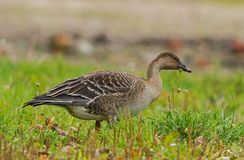 Bean Goose juvenil Imagem de Stock