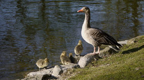Bean goose parent with chicks. Stock Photo