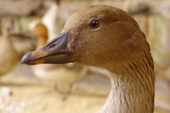 Bean goose portrait taxidermy Stock Photography