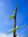 Bean Growing comune su Palo Immagini Stock Libere da Diritti