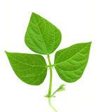 Bean Leave Stock Image