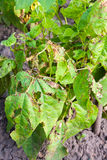 Bean leaves damaged royalty free stock image