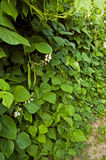 Bean plant Royalty Free Stock Photography
