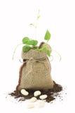Bean plant Royalty Free Stock Photo