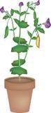 Bean plant Royalty Free Stock Photos