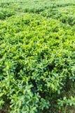 Bean Plant Royalty-vrije Stock Foto's