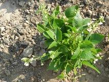 Bean Plant fotografia de stock