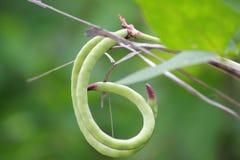 Bean Plant Royaltyfri Foto