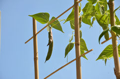 Bean plant climbs over the bamboo ladder, blue sky in background Stock Photo