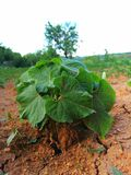 Bean plant in dry soil. Picture of bean plant in dry soil royalty free stock photography
