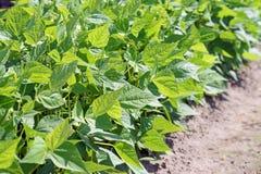 Bean Plant Stock Photo