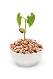 Bean plant growing Stock Photography