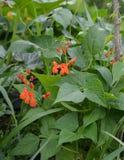 Bean plant Stock Photography