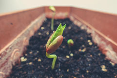Bean plant growing. In a jar Royalty Free Stock Photo