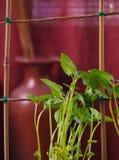 Bean plant Stock Image
