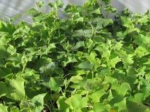 Bean Plant Growing verde orgânico em minha estufa Imagem de Stock Royalty Free