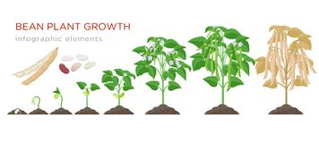Bean plant growth stages infographic elements in flat design. Planting process of beans from seeds sprout to ripe. Vegetable, plant life cycle isolated on white vector illustration