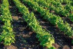 Bean plants in the field. Selective focus Royalty Free Stock Images