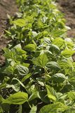 Bean plants in the garden stock image