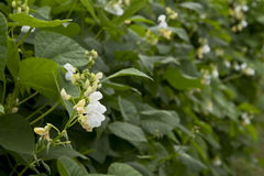 Bean plants growing Stock Photo