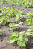 Bean plants Stock Images
