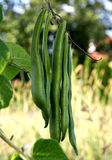 Bean pods Royalty Free Stock Photography