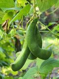 Bean Pods Royalty Free Stock Images