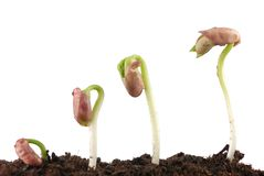 Bean seed germination Royalty Free Stock Photos