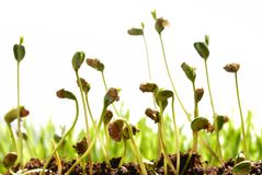 Bean seed germination. With soil isolated on white Stock Image