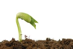 Bean seed germination. With soil isolated on white Royalty Free Stock Photos
