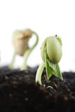 Bean seed germination Stock Photo