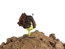 Bean seed germination in ground Stock Photography