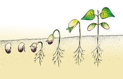 Bean seed germination vector illustration