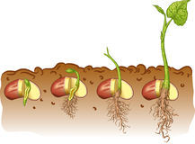 Bean seed. Vector illustration growth of bean plants Stock Photos
